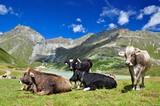 Kühe am Rifflsee