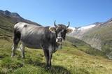 Kuh (Ötztaler Grauvieh)