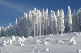 Tannen im Wintermantel